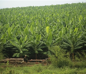Banana Plantation, an increasing site as Chinese money flows in