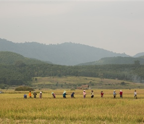 Rice Harvesters, all done by hand