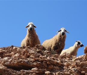 Sardi Sheep