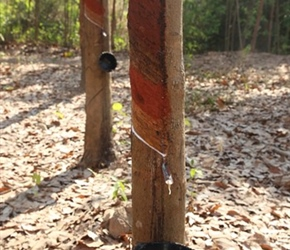 Rubber plantation trees