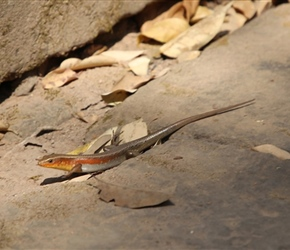Lizard at Ta Prohm