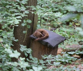Pine Marten asleep at Otter Park