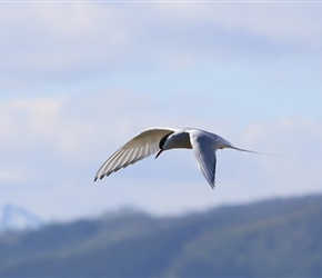 Arctic Tern in flight at Dverberg