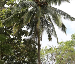 Climbing for coconuts