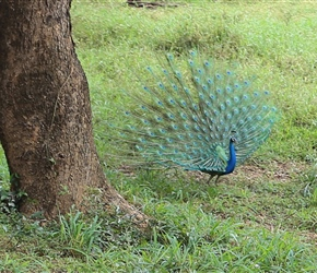 The blue peacock (Pavo cristatus) originally comes from India and Sri Lanka