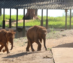 Baby elephants head to the milk bar at the Elephant orphanage