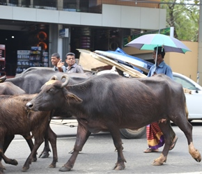 These buffalo were just driven through the centre of Embilipitiya