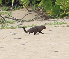 Mongoose on the beach