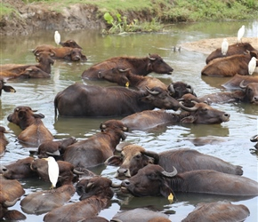 Water Buffalos in the cool of the pool
