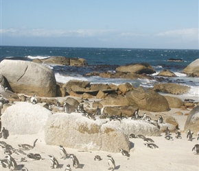 African penguin colony at Boulders Beach