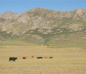 Cattle and Mountains, a typical view
