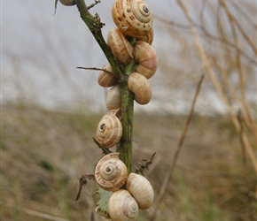 Snails lined up on a fence post near Bredesdorp