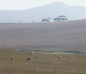 Sheep and hills