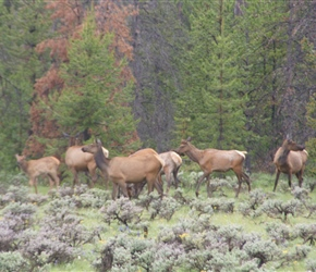 Our first Elk Herd