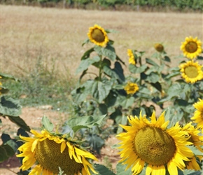 20.08.2012-CTC-Chateau---Jonzac-(33)-Sunflowers.jpg